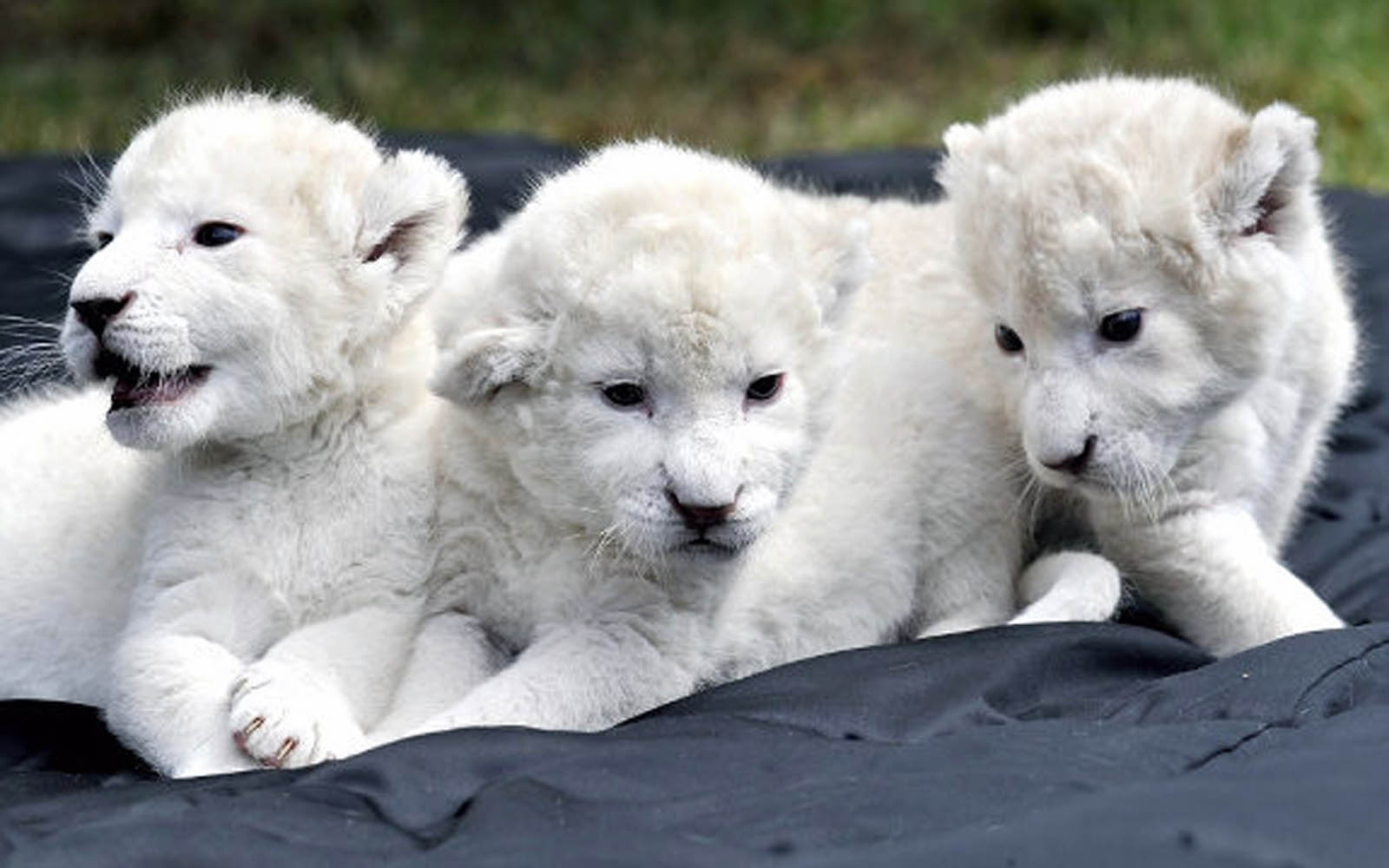 White Lion Wallpapers High Quality