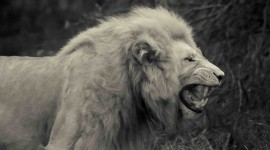 White Lion Photo Download