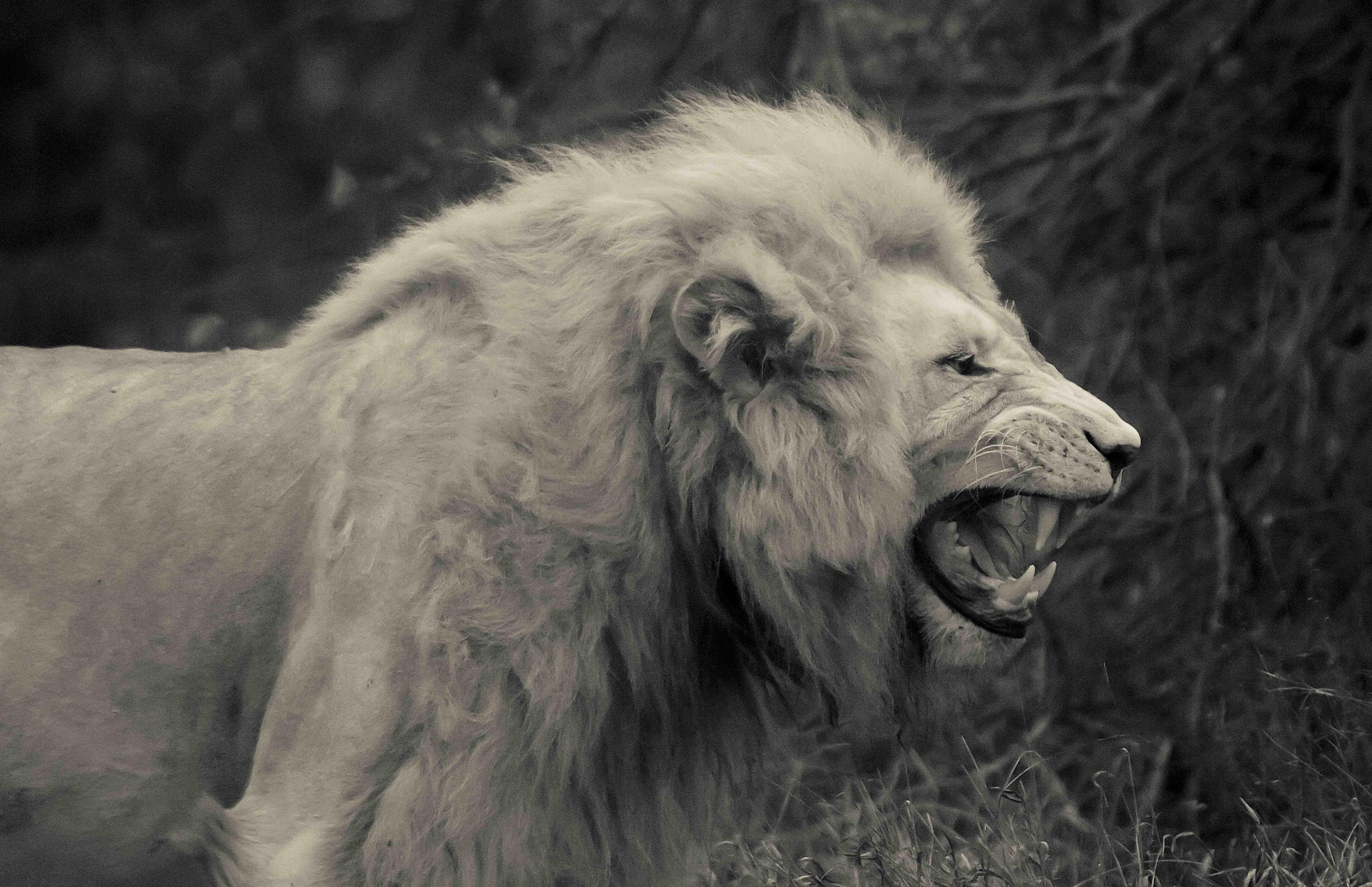 White lion animal