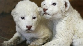 White Lion Photo Free