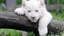 White Lion Photo#1