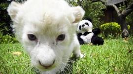 White Lion Photo#3