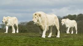 White Lion Pics