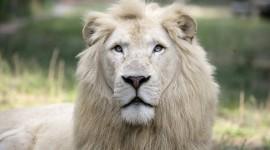 White Lion Wallpaper Download