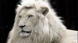 White Lion Wallpaper Download Free
