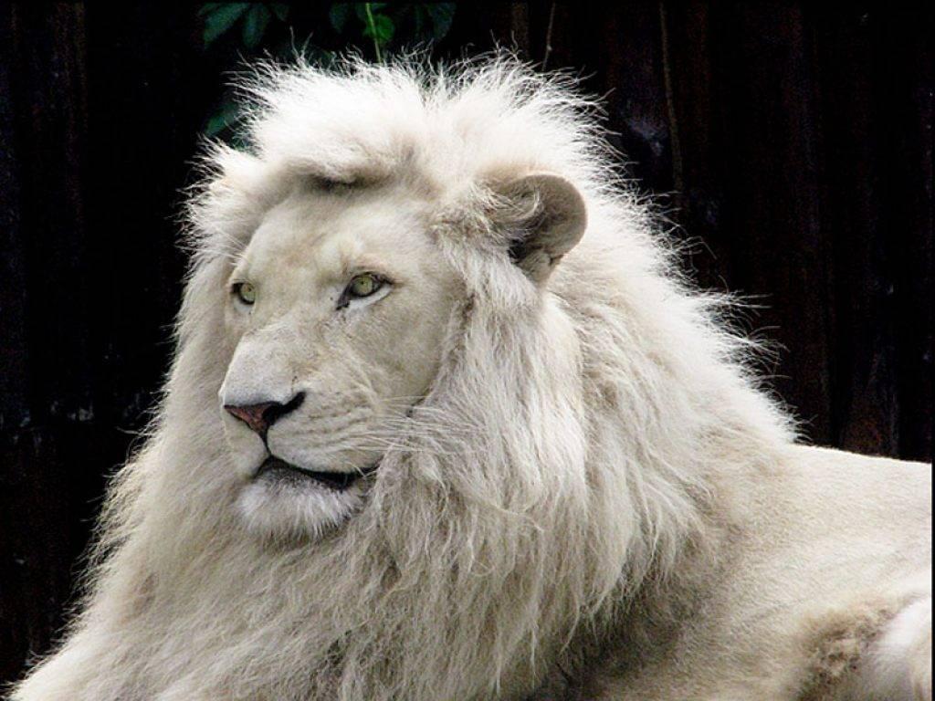 Wallpaper download lion - White Lion Wallpaper Download Free