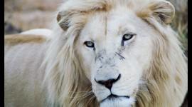 White Lion Wallpaper For Desktop