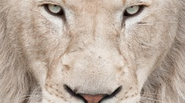White Lion Wallpaper For IPhone
