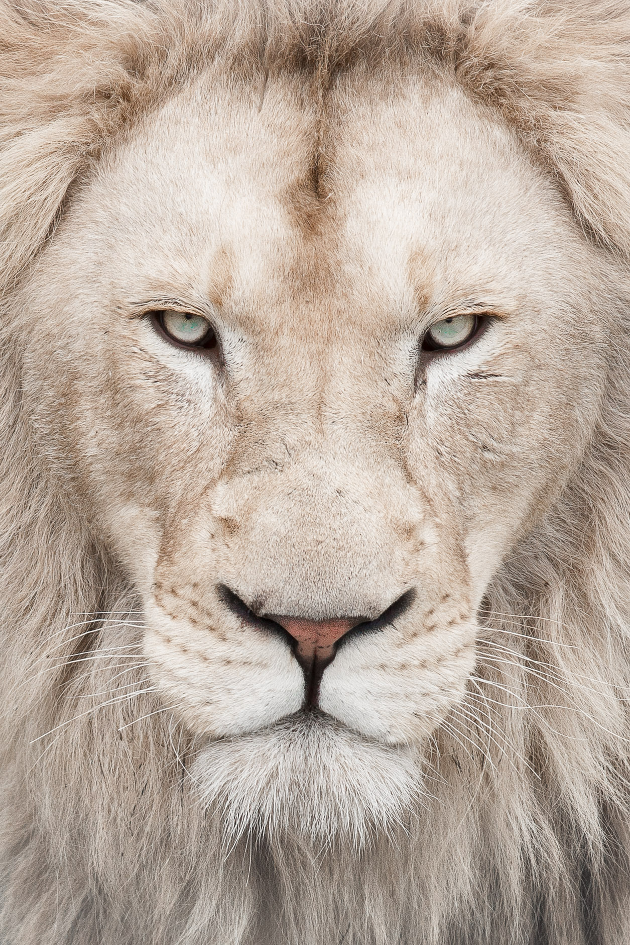 White Lion Wallpapers High Quality Download Free