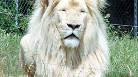 White Lion Wallpaper For Mobile