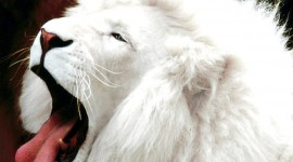 White Lion Wallpaper For PC
