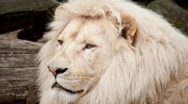 White Lion Wallpaper Full HD
