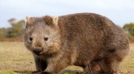 Wombat Desktop Wallpaper For PC