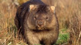 Wombat Photo