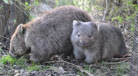 Wombat Photo Download