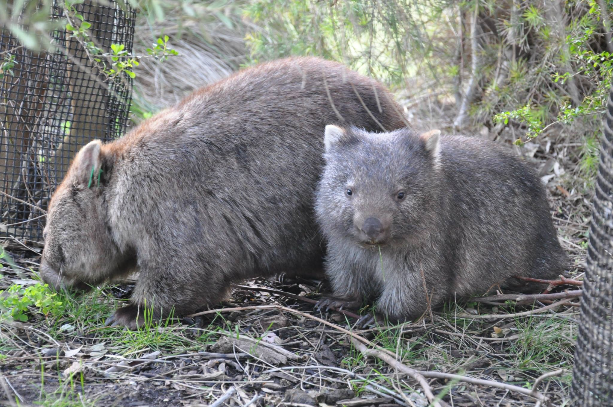 Wombat steckbrief