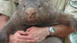 Wombat Photo Free