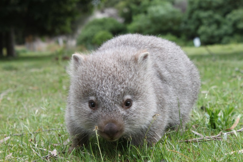 Wombat wallpapers HD