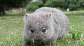 Wombat Wallpaper