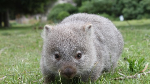 Wombat wallpapers high quality