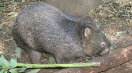 Wombat Wallpaper Download