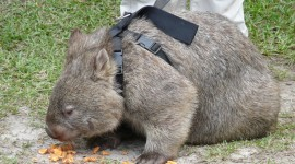 Wombat Wallpaper Download Free