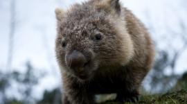 Wombat Wallpaper For Desktop