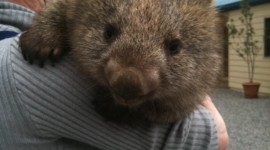 Wombat Wallpaper For IPhone