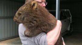 Wombat Wallpaper For Mobile