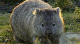 Wombat Wallpaper For PC
