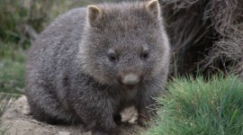 Wombat Wallpaper Free