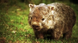 Wombat Wallpaper Gallery