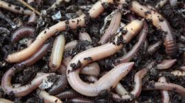 Worms Desktop Wallpaper