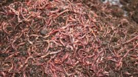 Worms Pics