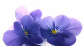 4K Blue Flowers Wallpaper Download