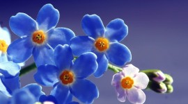 4K Blue Flowers Wallpaper For PC