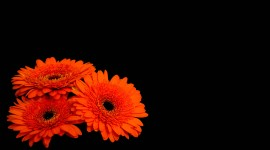 4K Orange Flowers Desktop Wallpaper For PC