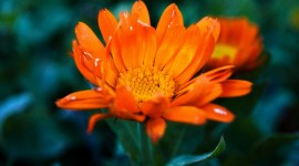 4K Orange Flowers Photo Download