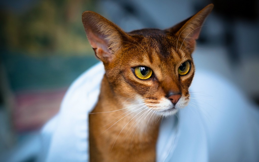 Abyssinian Cat wallpapers HD
