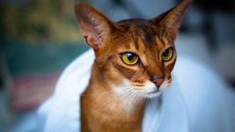 Abyssinian Cat wallpapers high quality