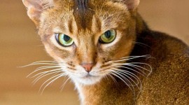 Abyssinian Сat Wallpaper For IPhone