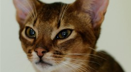 Abyssinian Сat Wallpaper Free