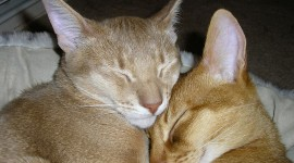 Abyssinian Cat Photo