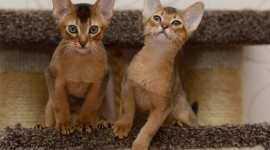 Abyssinian Cat Photo Download