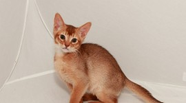 Abyssinian Cat Photo Free