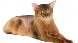 Abyssinian Cat Photo Free#1