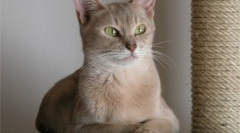 Abyssinian Cat Photo Free#2