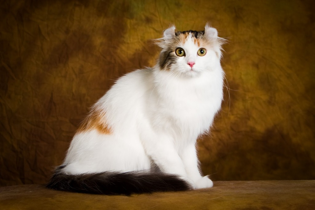 American Curl wallpapers HD
