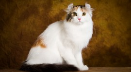 American Curl Best Wallpaper