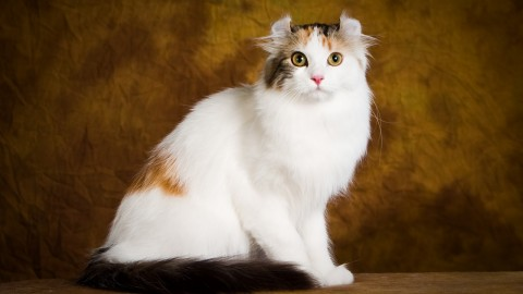 American Curl wallpapers high quality